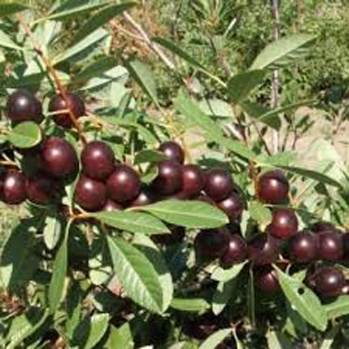 Sand-cherry-Fruits-on-the-plant