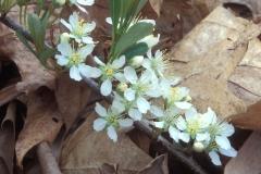 Flowers-of-Sand-cherry