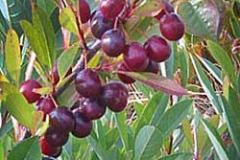 Maturing-fruits-of-SandCherry