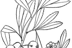 Plant-illustration-of-Sand-cherry