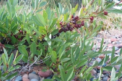 Sand-Cherry-Plant