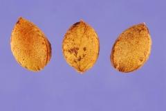 Seeds-of-Sand-cherry