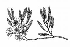 Sketch-of-Sand-cherry