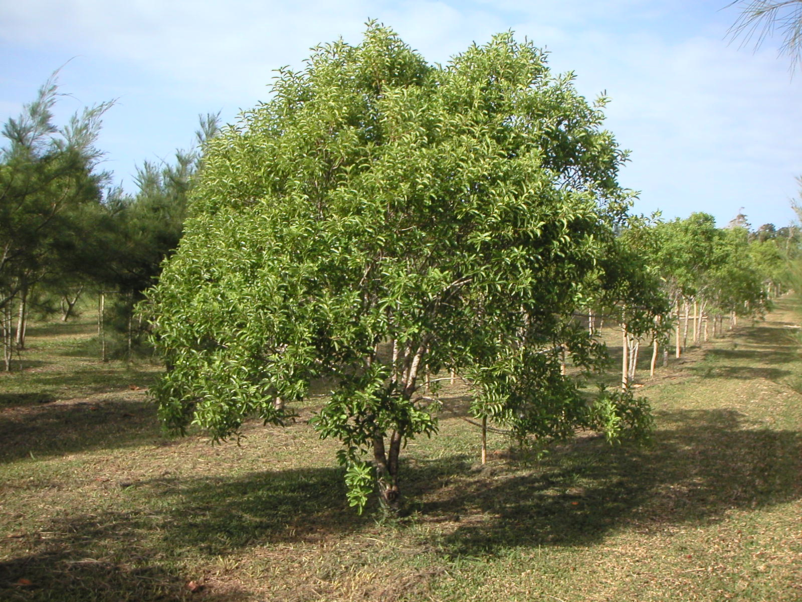 Sandalwood-tree