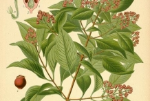 Plant-illustration-of-Sandalwood