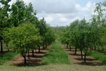 Sandalwood-farm