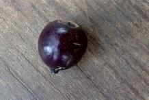 Sandalwood-fruit