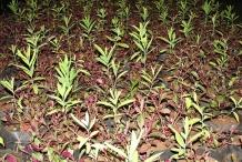 Sandalwood-seedlings