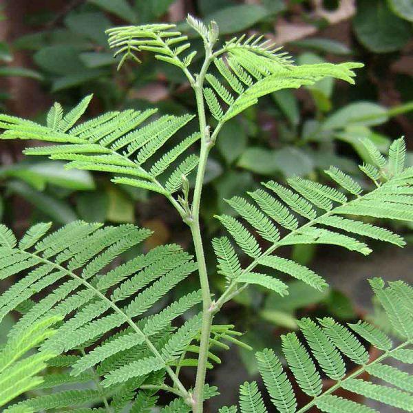 Leaves-of-Sangri