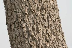Bark-of-Sangri