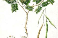 Plant-Illustration-of-Sangri