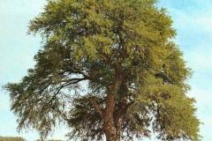 Sangri-Tree