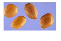 Seeds-of-Sangri