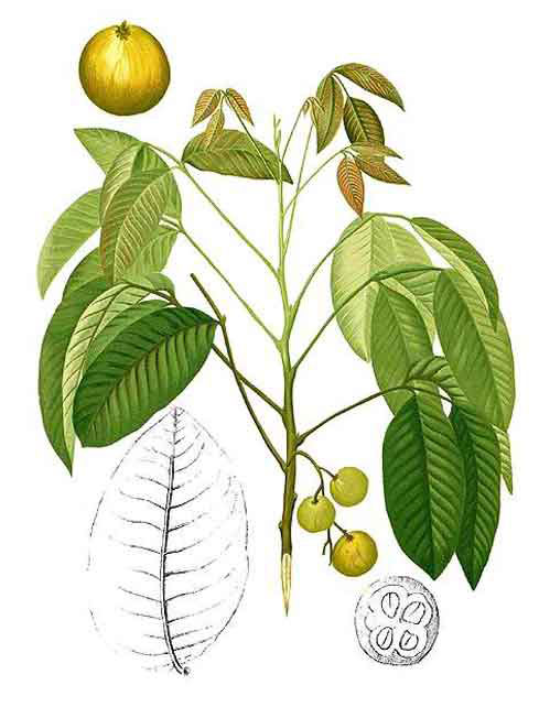 Plant-Illustration-of-Santol-fruit