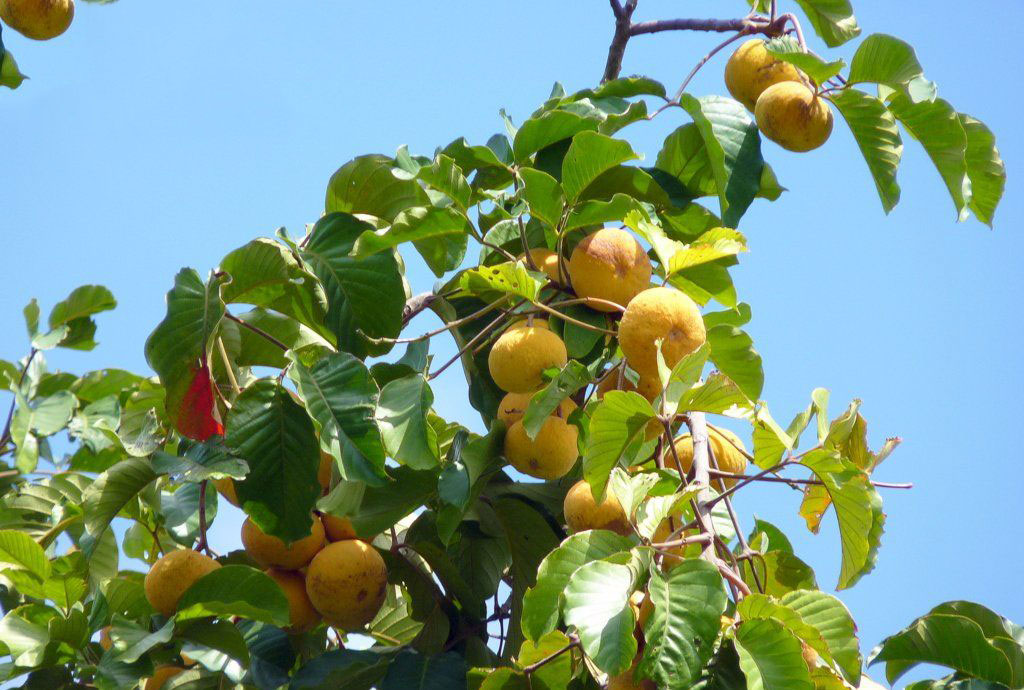 Ripe-Santol-fruit-on-the-tree