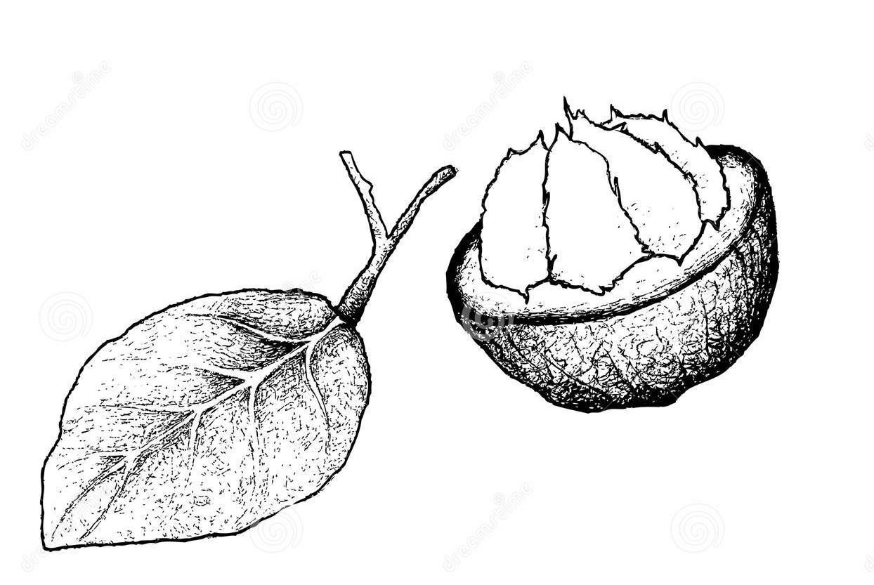 Sketch-of-Santol-fruit