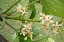 Flowers-of-Santol-fruit-plant
