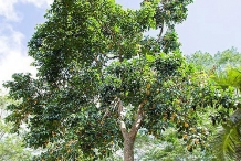 Santol-fruit-Tree