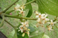 Flowers-of-Santol-fruit-plant