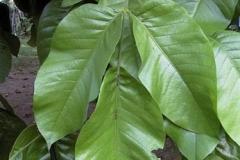 Leaves-of-Santol-fruit