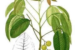 Plant-Illustration-of-Santol-fruit