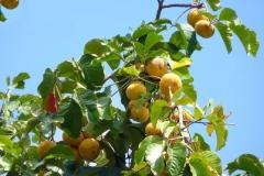Ripe-Santol-fruit-on-the-tree