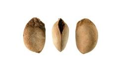 Seeds-of-Santol-fruit