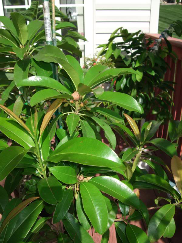 Sapodilla Facts Health Benefits And Nutritional Value