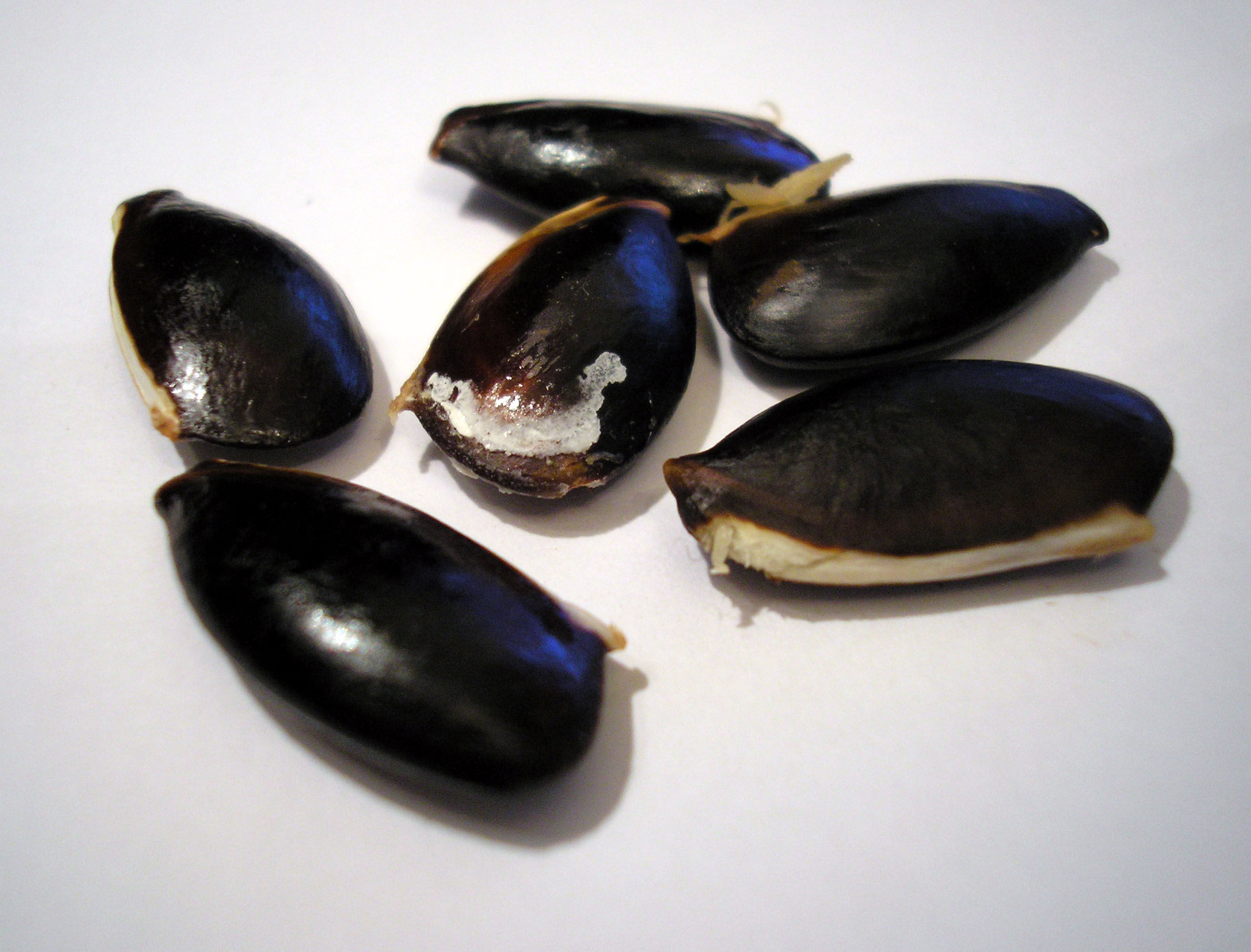 Seeds-of-Sapodilla