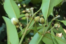 Flower-bud-of-Sapodilla