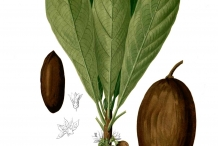 Illustration-of-Sapodilla
