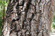 Sapodilla-bark