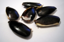 Seeds-of-Sapodilla
