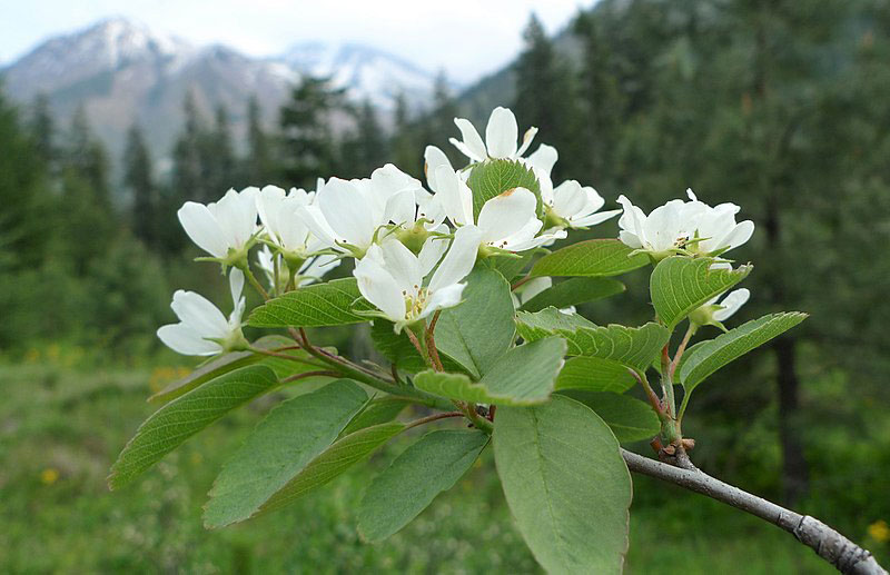 Flower-of-Saskatoon