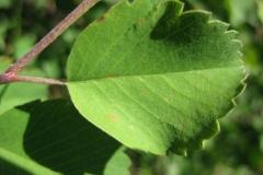 Leaves-of-Saskatoon