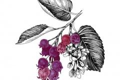 Plant-Illustration-of-Saskatoon