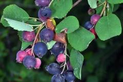 Saskatoon-fruits-on-the-plant