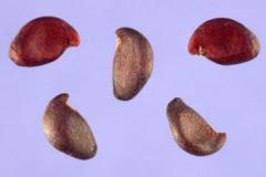 Seeds-of-Saskatoon