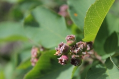 Unripe-fruits-of-Saskatoon