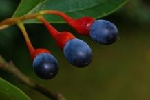 Sassafras-berry-Sasafras