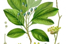 Sassafras-illustration-Sassefras