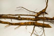 Sassafras-root-Sassafrás