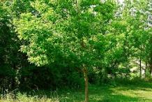 Sassafras-tree-Cây de vàng