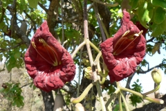 Sausage-tree-flower
