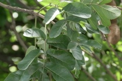 Sausage-tree-leaves