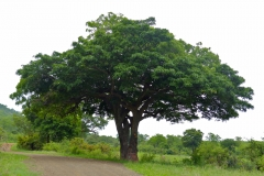 Sausage-tree