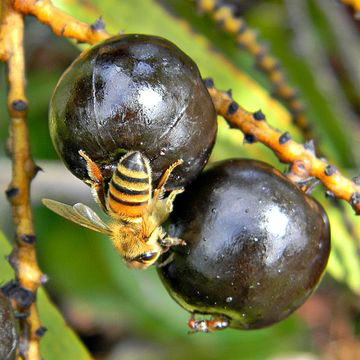 Ripe-fruit-of-Saw-palmetto