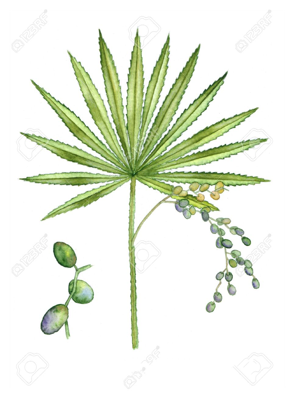 Saw-palmetto-Illustration