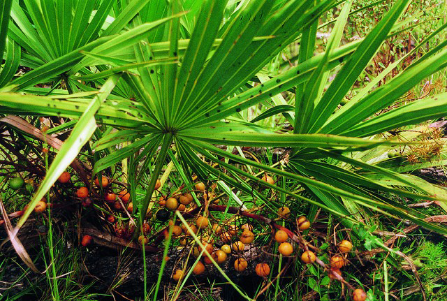Saw-palmetto-fruit-on-the-plant