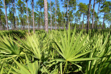Saw-palmetto-Farming
